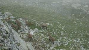 gavia pass - animals