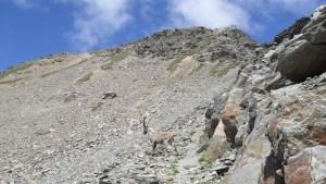 gavia pass - ibex again