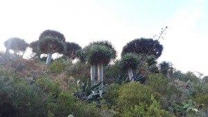chamorga faro de anaga-drago trees