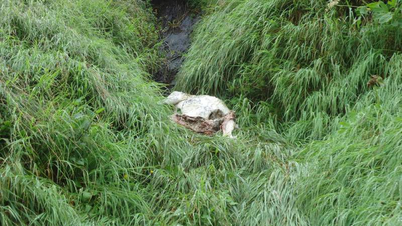 Carcass of a sheep in the water stream.