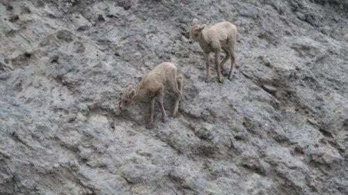 Baby Rocky Mountain sheep.