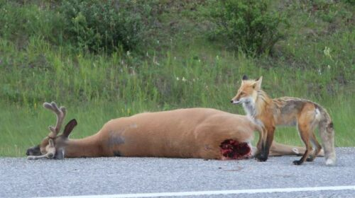 A fox feasting - Highway 742 in Kananaskis Provincial Park.